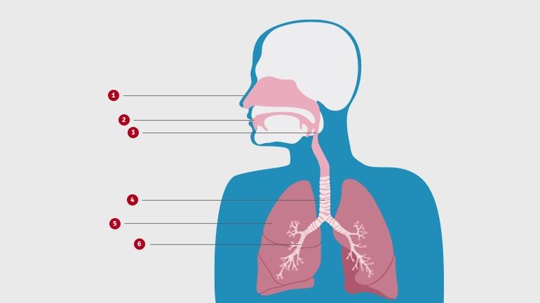 Schemat górnej części ciała pokazuje, jak budowane są drogi oddechowe